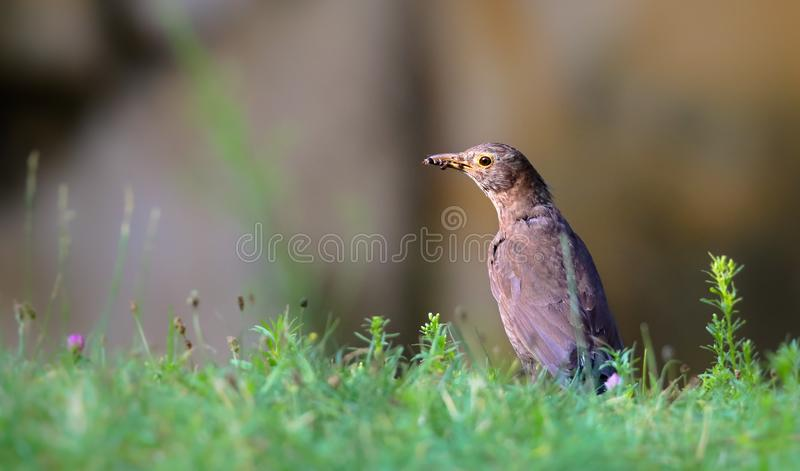 Blackbird female bird observing eating on grass. Black brown blackbird songbird sitting and eating insects and worms on garden royalty free stock images