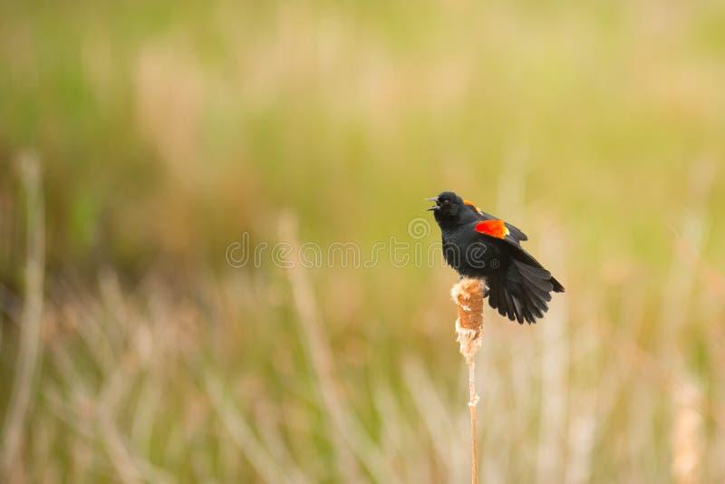 Blackbird in a field stock photography