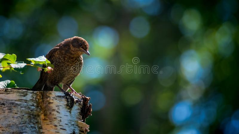 Blackbird fledgling perched on the stump of a tree royalty free stock photos