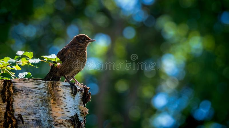 Blackbird fledgling perched on a the stump of a tree stock images