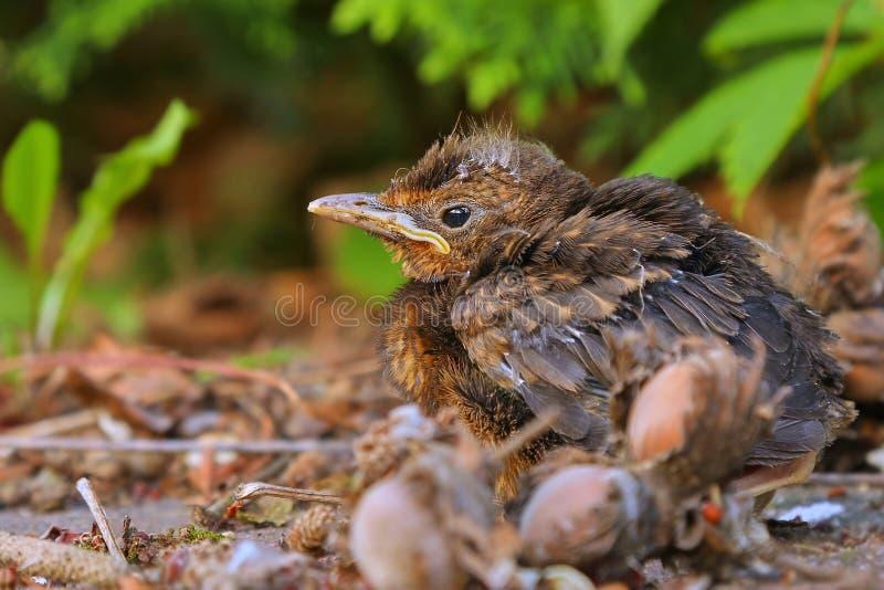 Young baby bird sittin on the ground. Blackbird fledgling sittin on the ground stock photos