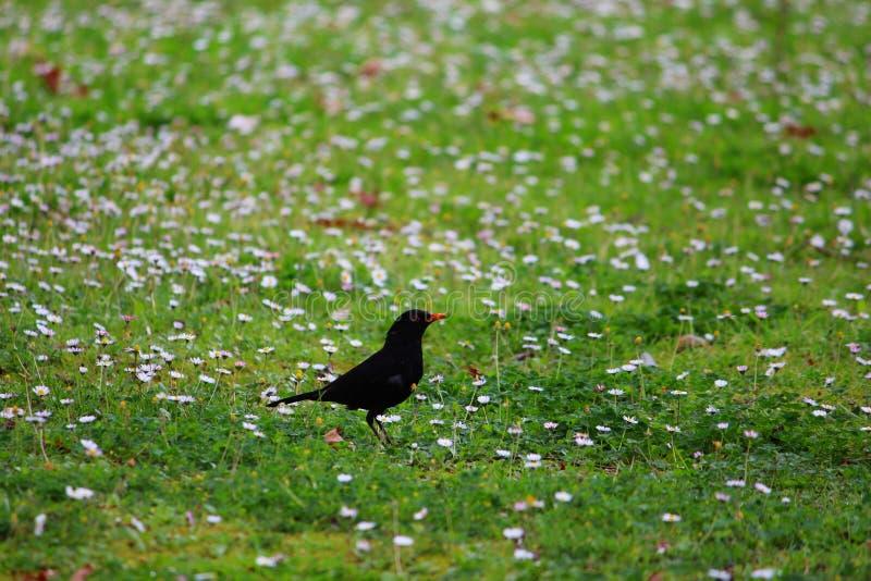 Blackbird in a flower field royalty free stock image
