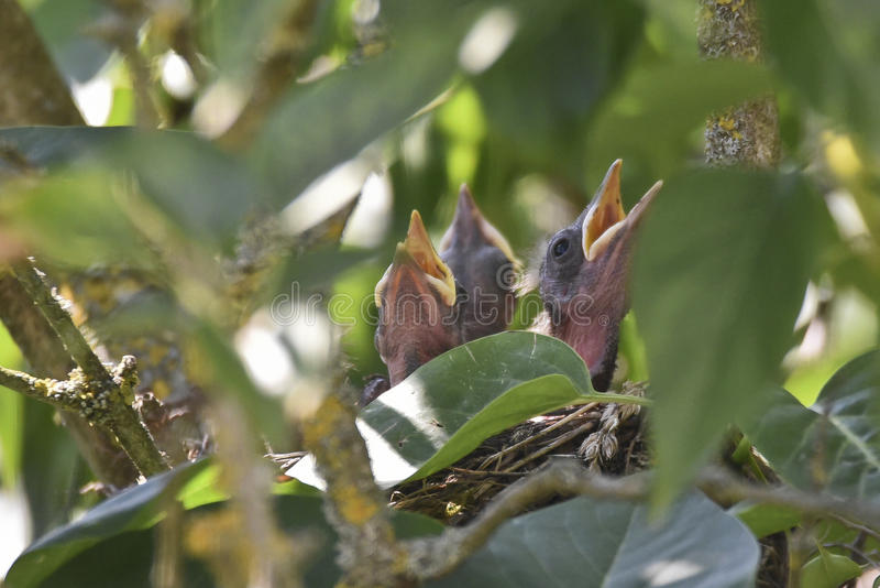 Blackbird nest. Blackbird Chicks Seeking to be Fed stock photos