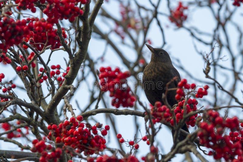 Download Blackbird stock image. Image of blackbird, thrushes, europe - 37562809