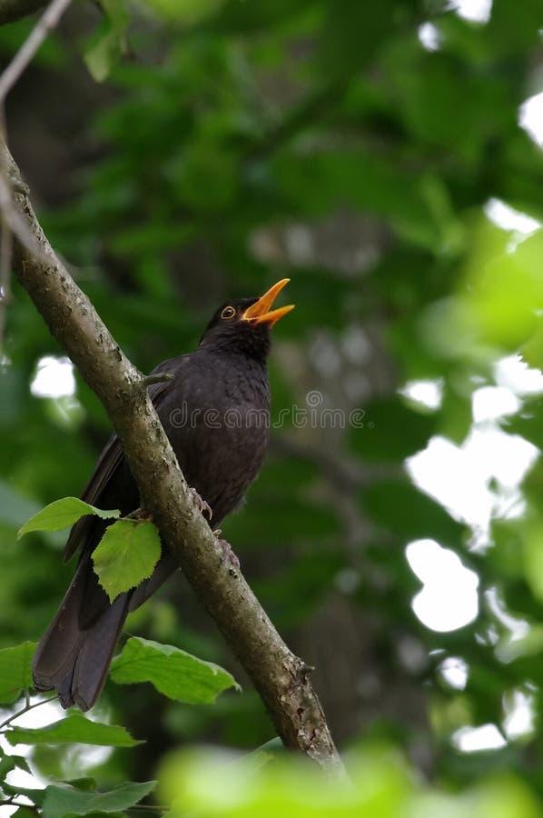 Blackbird singing. European blackbird singing in the forest royalty free stock images