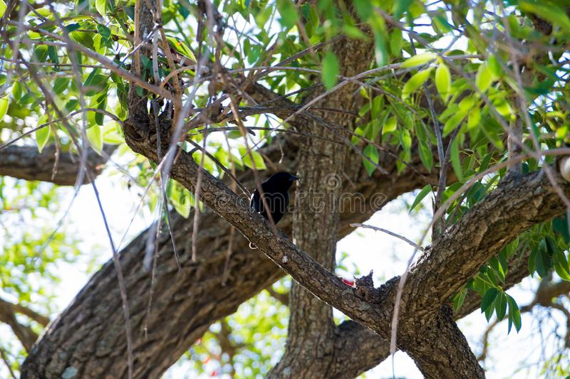 Blackbird singing in the branch of a tree stock photo