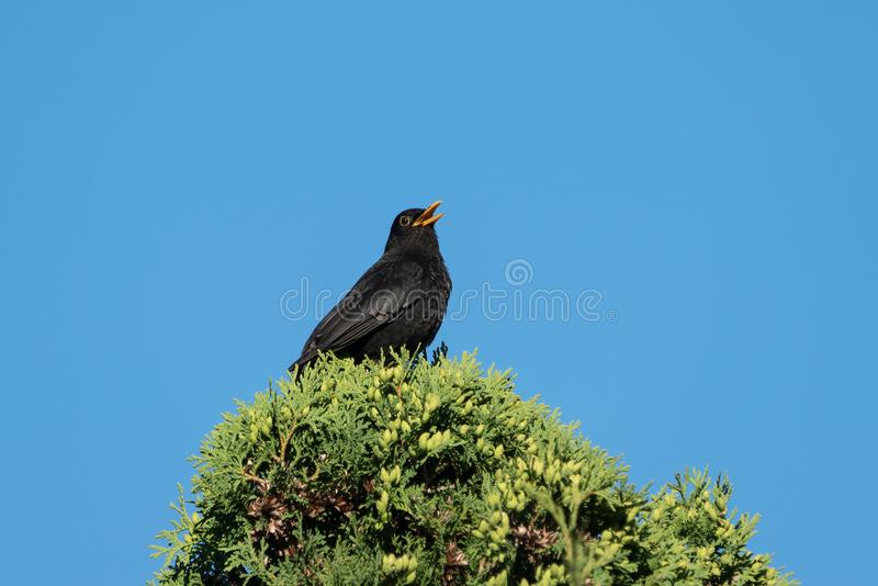 Blackbird singing from the top of a thuja stock photography