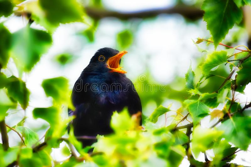 Blackbird singing in a tree stock photography