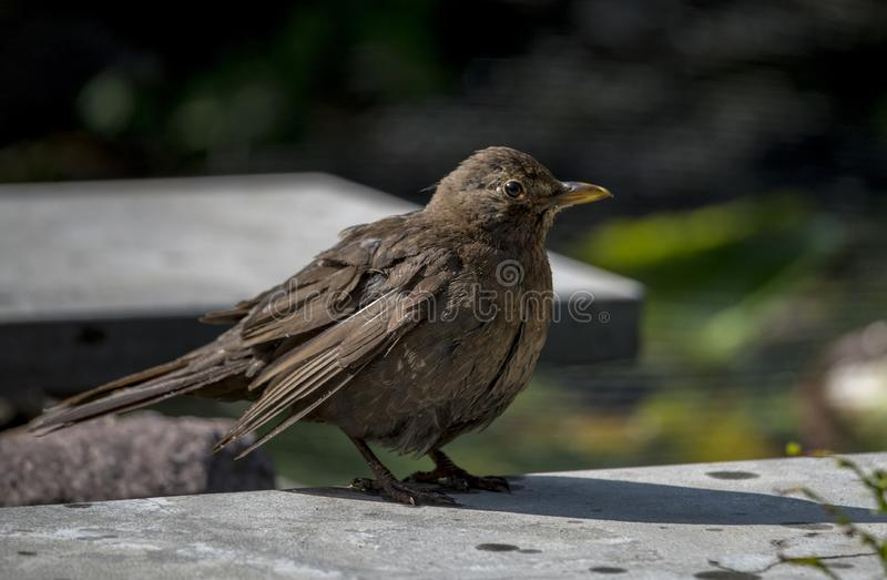 Blackbird sitting on a stone in the garden. Wet from a bath in the garden stock image
