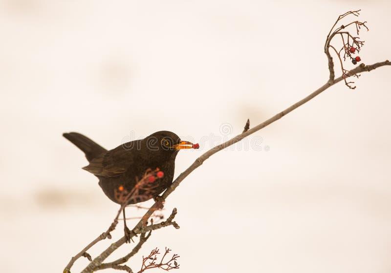 Blackbird som matar på rönnbär fotografering för bildbyråer
