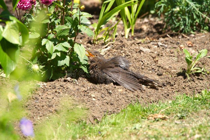 Blackbird sunning itself in an English garden border. royalty free stock photography