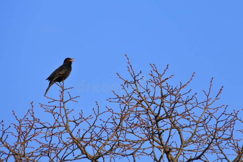 Blackbird on a tree stock photos