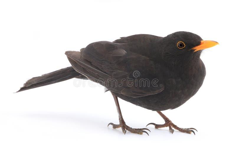 Blackbird. Turdus merula - blackbird isolated on white background royalty free stock images