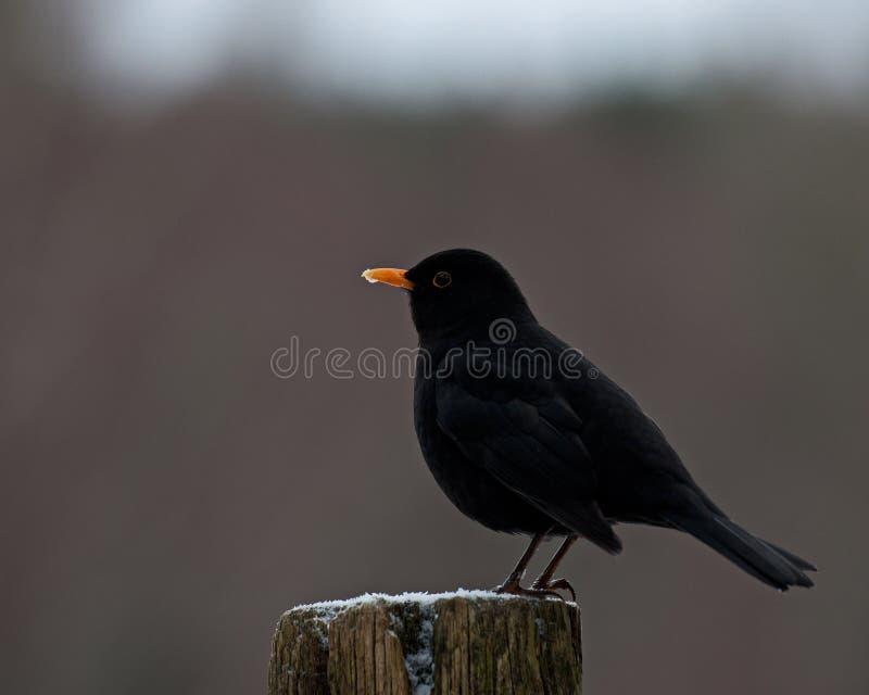 Download Blackbird Turdus Merula Male Royalty Free Stock Photography - Image: 36984317