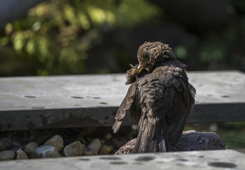 Blackbird washes itself in the garden. Blackbird washes itself after a bath in the garden stock photography