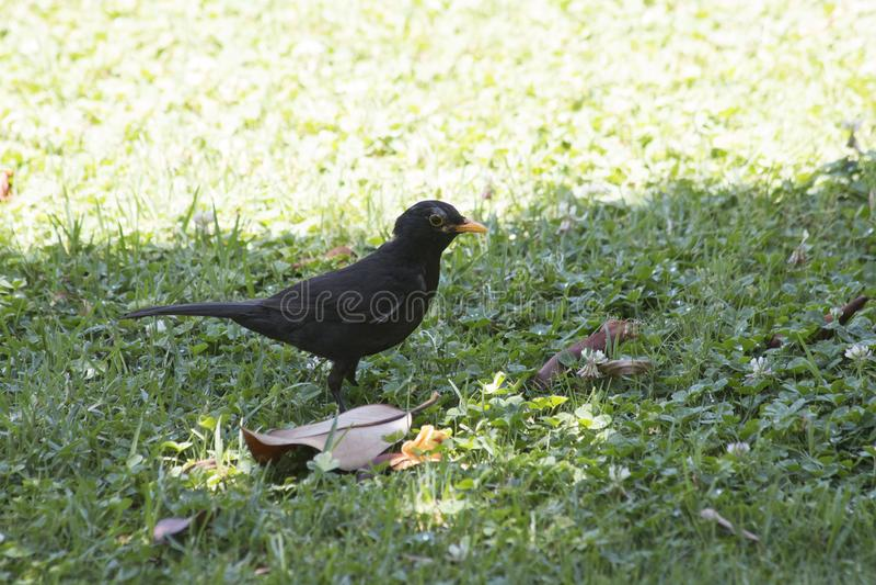 Blackbird sitting on the grass royalty free stock photos