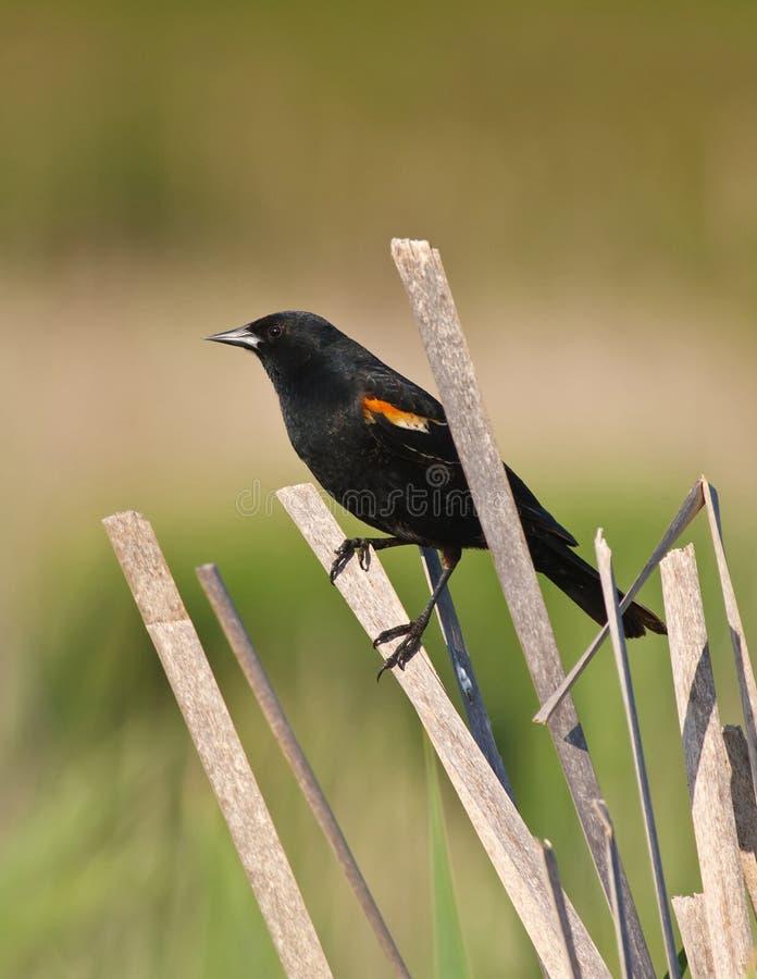 blackbirdcattailvass fotografering för bildbyråer