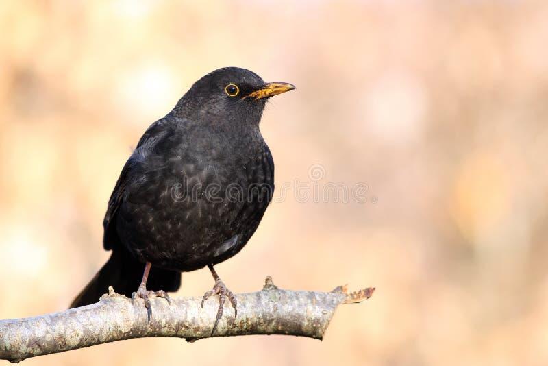 blackbirdmanlig royaltyfri bild