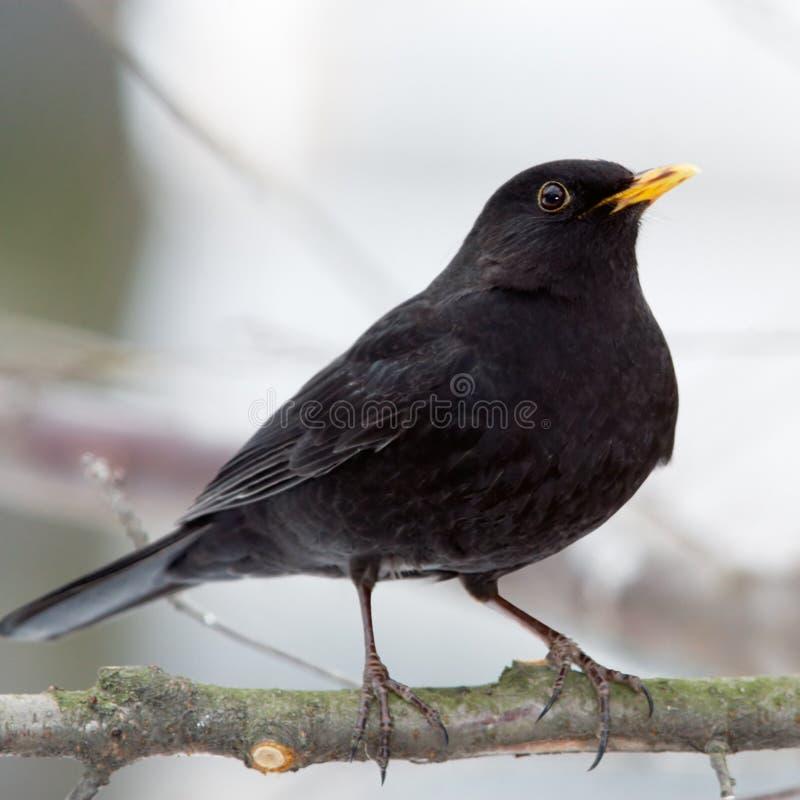blackbirdmanlig fotografering för bildbyråer