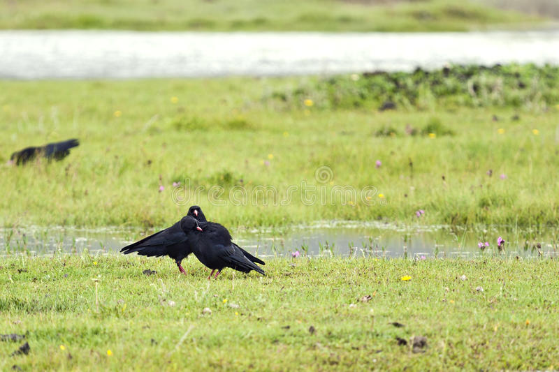 Download Blackbirds in a Meadow stock image. Image of birds, wilderness - 20693947