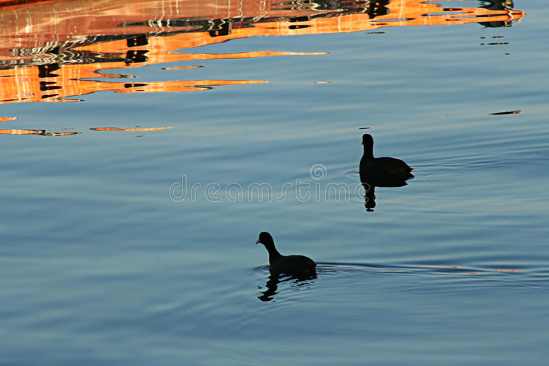 Download Blackbirds On Sea stock image. Image of duck, friend - 24399759