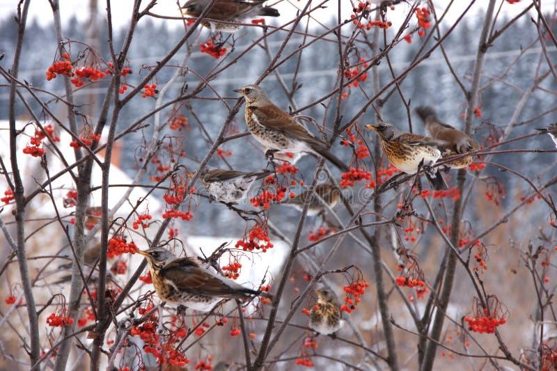 blackbirdsfilialer flockas treen royaltyfri bild