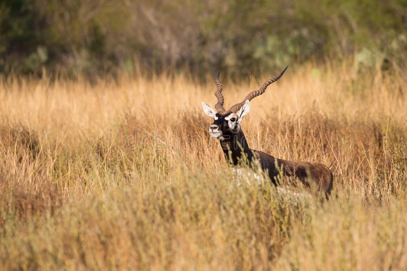 Blackbuck hiding in tall grass. Sneaky blackbuck on full alert royalty free stock photo