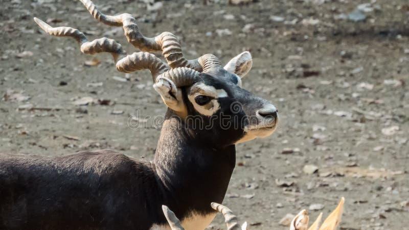 Blackbuck man anseende-Indien royaltyfri bild