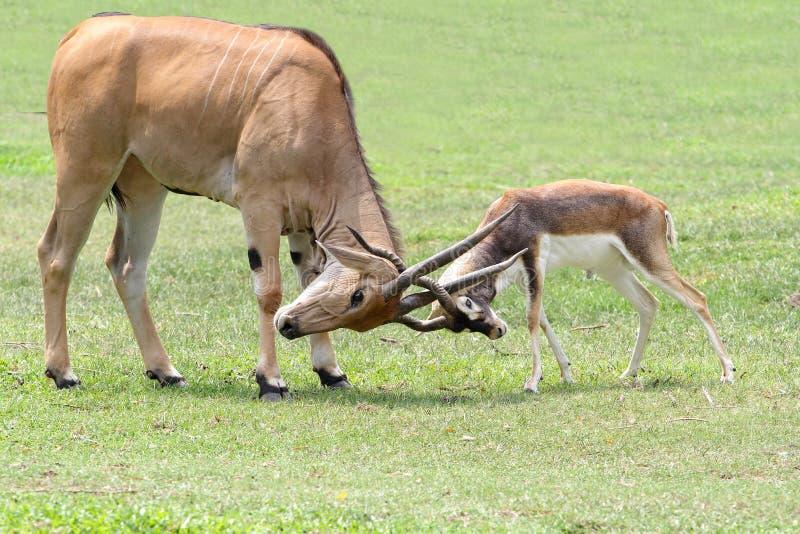 Blackbuck masculin d'attaque de waterbuck de Defassa de mâle sur la savane photos stock