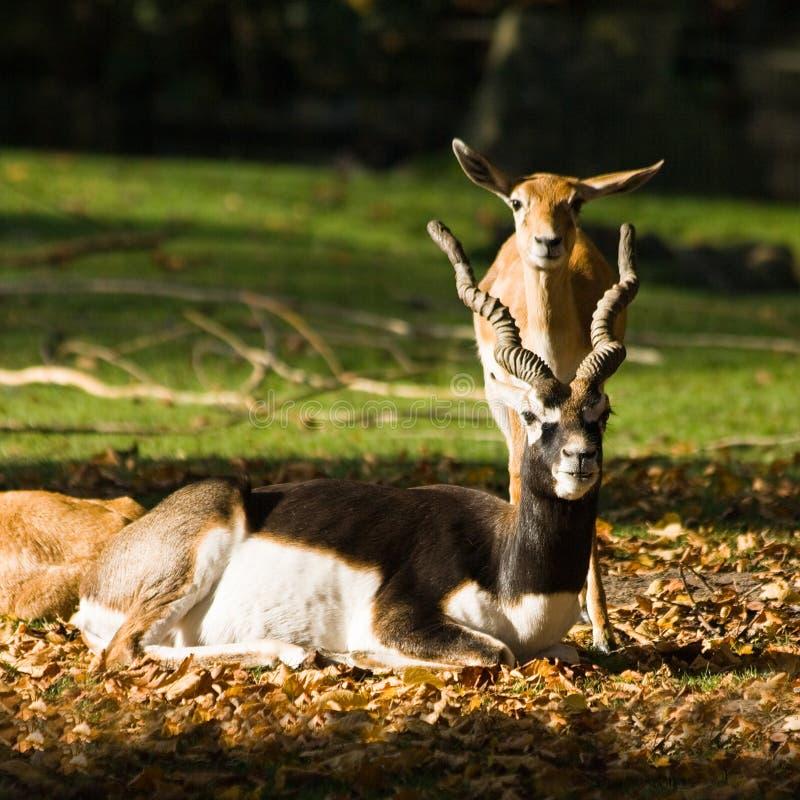 Blackbuck o antilope indio imagen de archivo libre de regalías