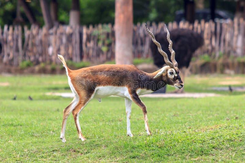 Blackbuck o ciervos que colocan y que miran algo imagen de archivo libre de regalías