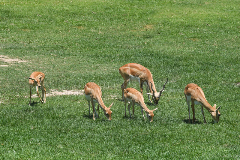 Blackbucks are eating grass in the fields royalty free stock image