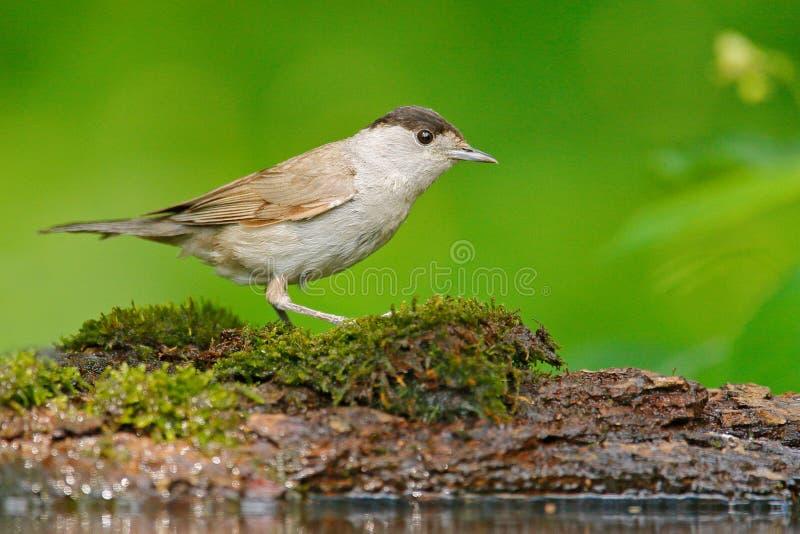 Blackcap, atricapolla сидя в воде, славная ветвь Сильвии дерева лишайника, птица в среду обитания природы, весна, время гнездитьс стоковые изображения