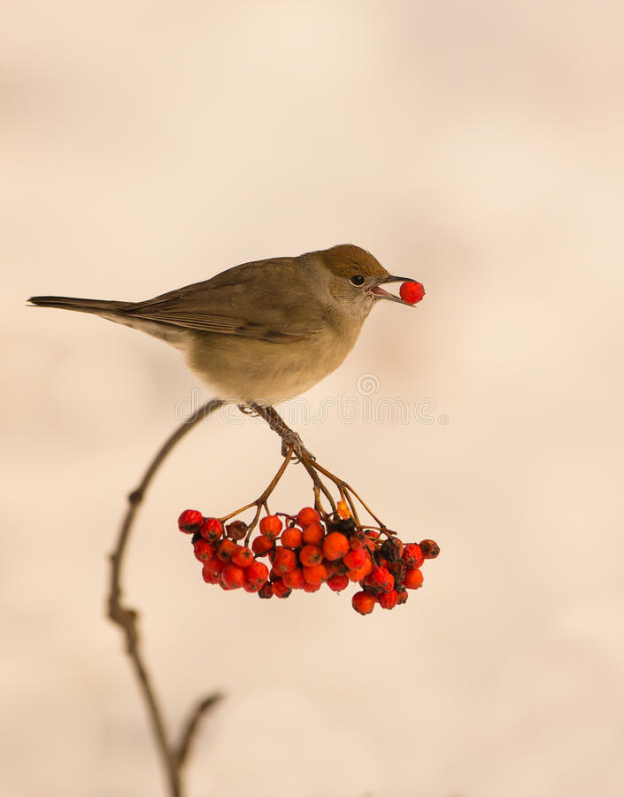Free Blackcap With Rowan Berry Royalty Free Stock Photography - 29647947