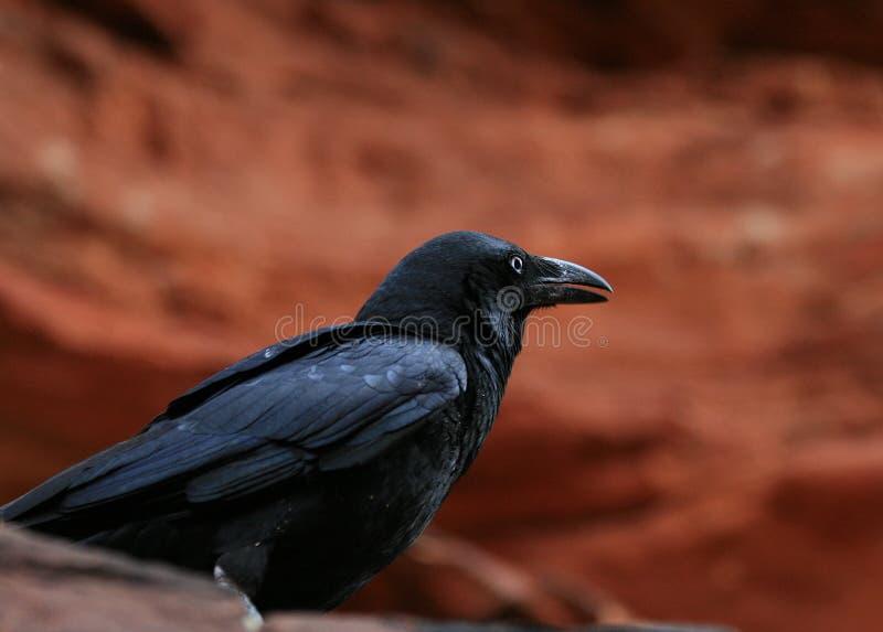 BlackCrow foto de stock