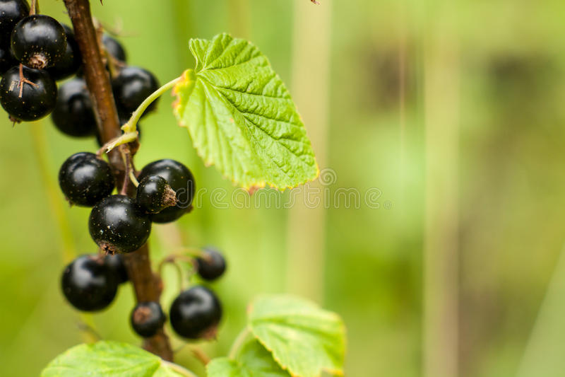 Blackcurrant fruit on the bush. Harvest of ripe fluffy blackcurrant. Black fruits on a green background. royalty free stock image
