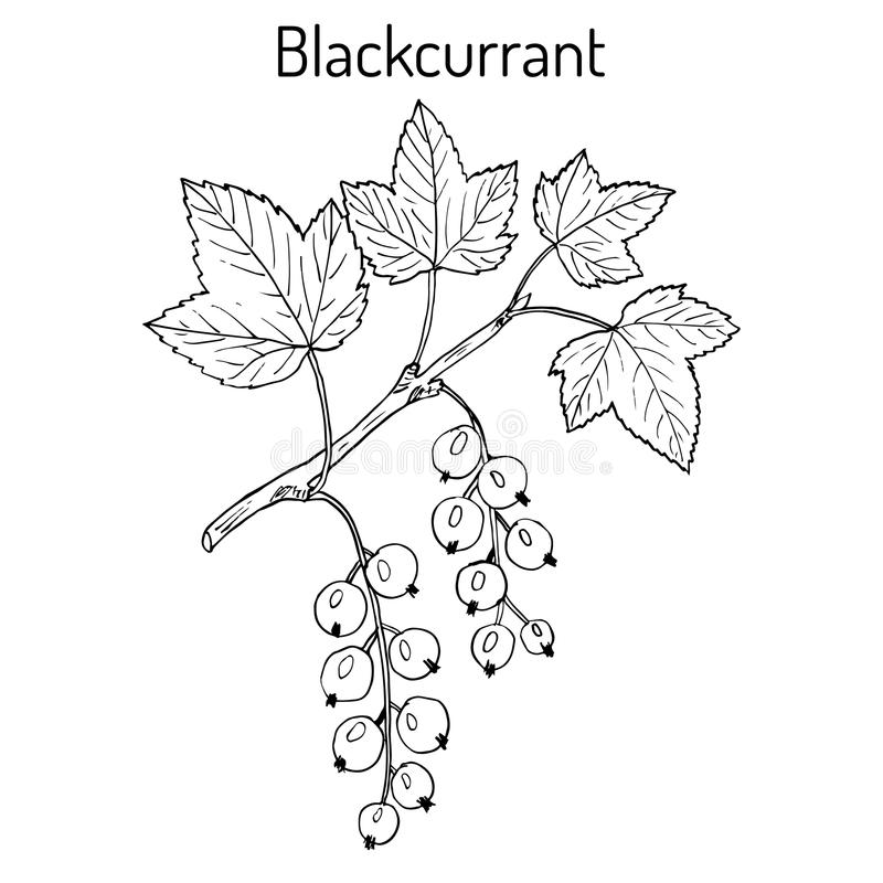 Blackcurrant Ribes nigrum royalty ilustracja