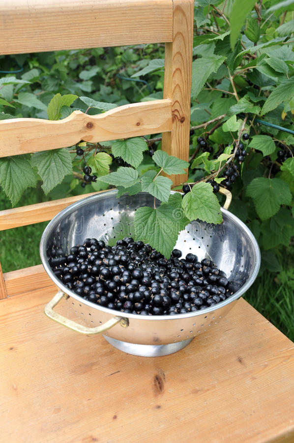 Blackcurrants. Harvest from the garden during sumnmer. Blackcurrants filled with vitamines stock photos