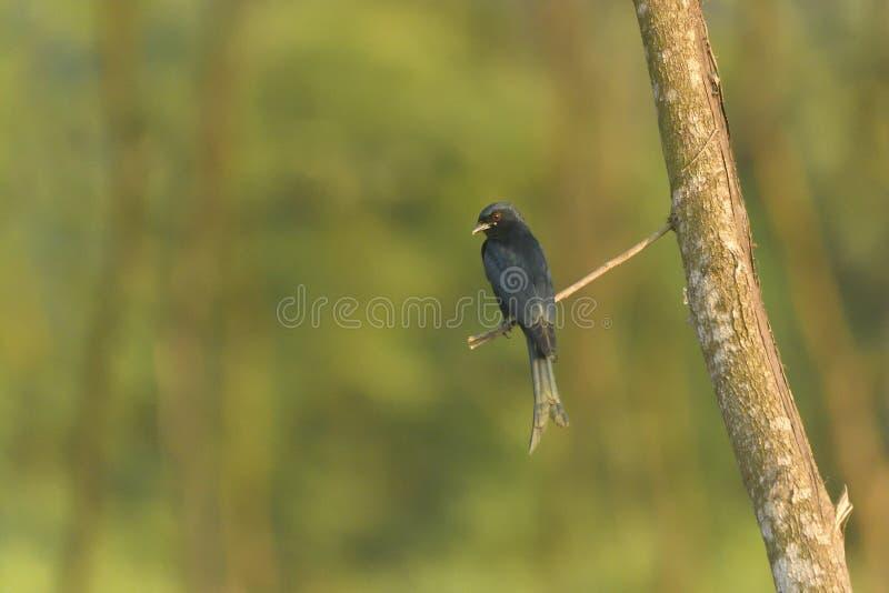 Blackdrongo - πουλί στοκ εικόνες