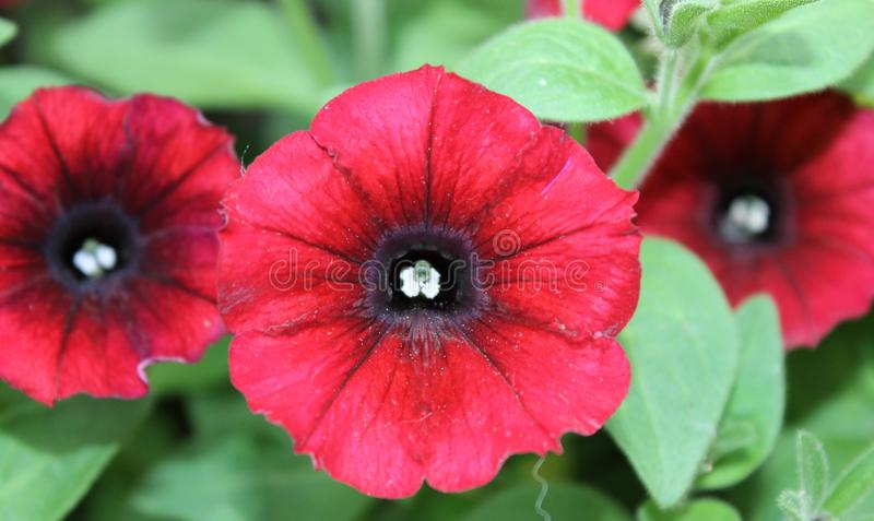 Blackeyed Czerwony Calibrachoa zdjęcie royalty free