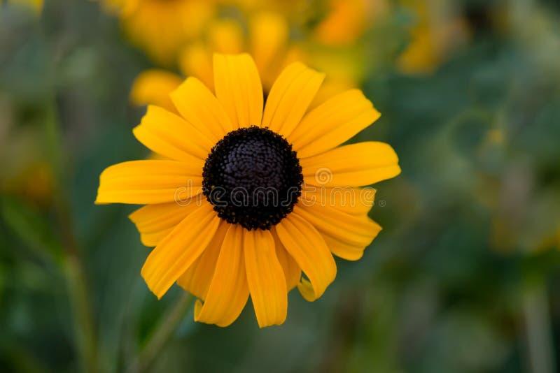 Blackeyed Susan kwiatu okwitnięcia zdjęcia royalty free