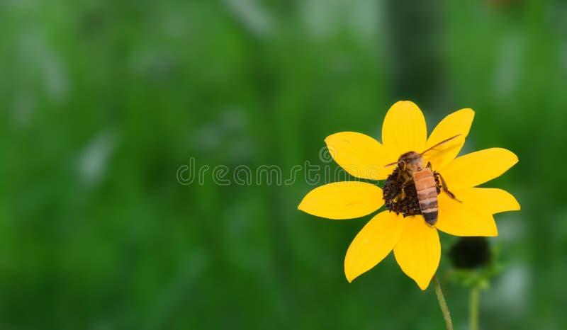 Blackeyed Susan, słonecznik z pszczołą zdjęcie royalty free