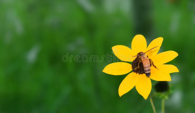 Blackeyed Susan,Sunflower with bee. royalty free stock photo