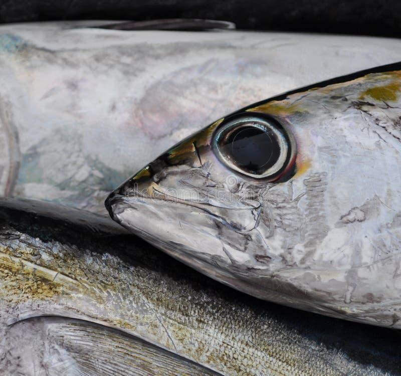 Blackfin Tuna Stock Photo