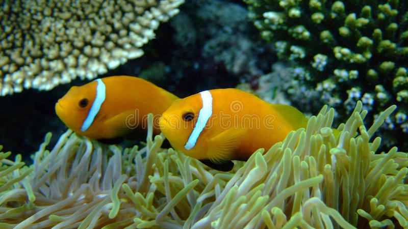 Blackfinned anemonefish, Maldives. Blackfinned anemonefish, Athuruga, Ari Atoll, Maldives royalty free stock image