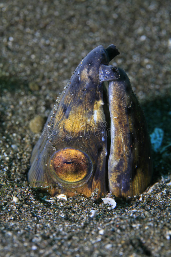 Blackfinned snake eel. Snake eel in the sandy bottom stock photos