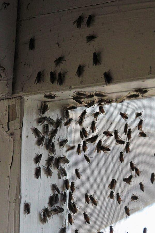 Blackflies που συρρέουν μέσα σε μια γωνία οικοδόμησης σε μια οθόνη παραθύρων στοκ φωτογραφία με δικαίωμα ελεύθερης χρήσης