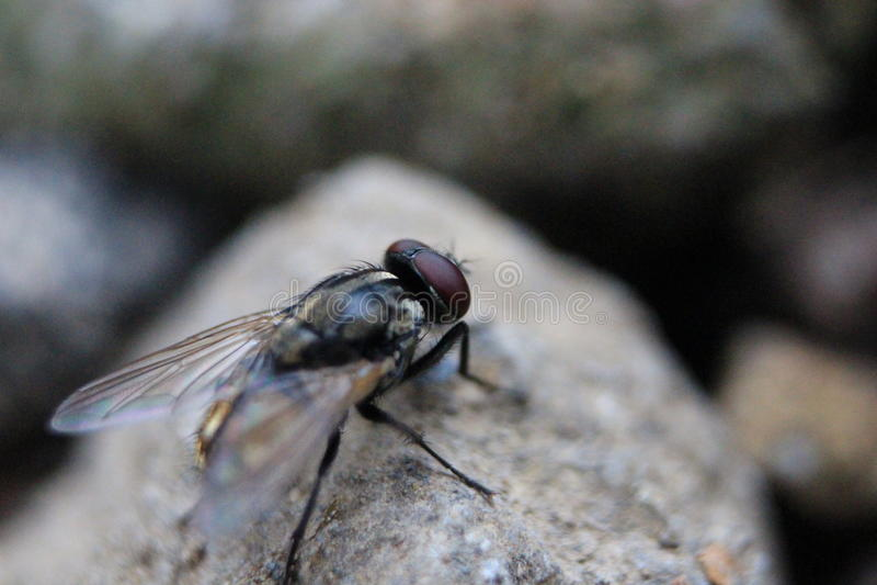 Blackflies стоковое фото
