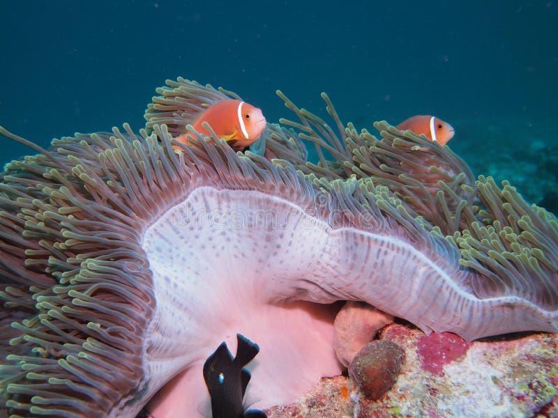 blackfoot anemonefish maldive стоковое фото