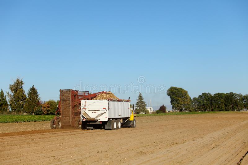 Farmers and farm machinery harvesting sugar beets in the farm fields of Idaho. stock images